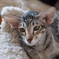 http://shimaya.ru/ru/?p=kittens&i=21